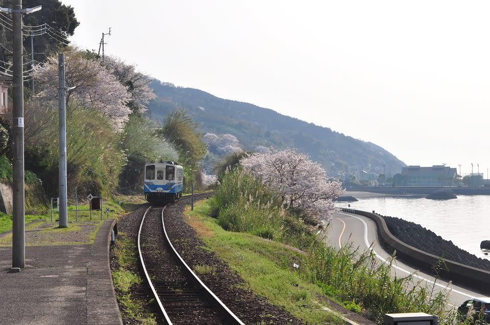 在下灘站月台看電車進站,鐵道兩旁都是櫻花樹。