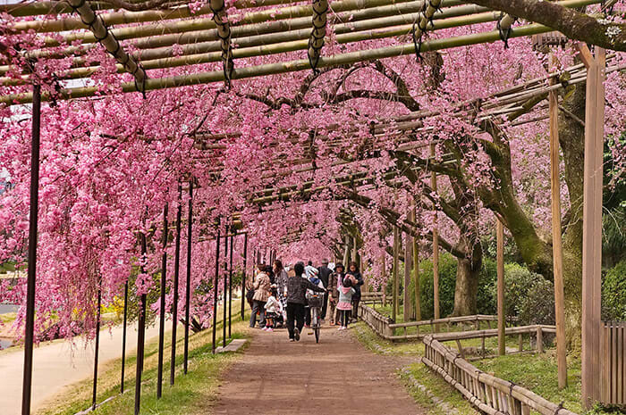 京都櫻花 景點