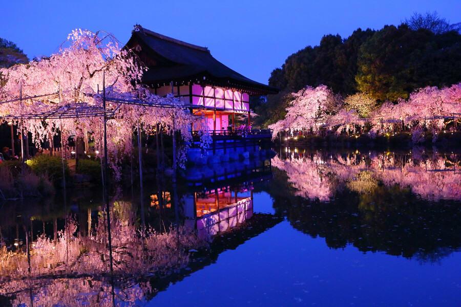 京都櫻花 夜櫻景點