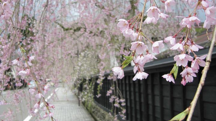 東北賞櫻勝地 ・ 武家屋敷 。 Photographer|粹日本