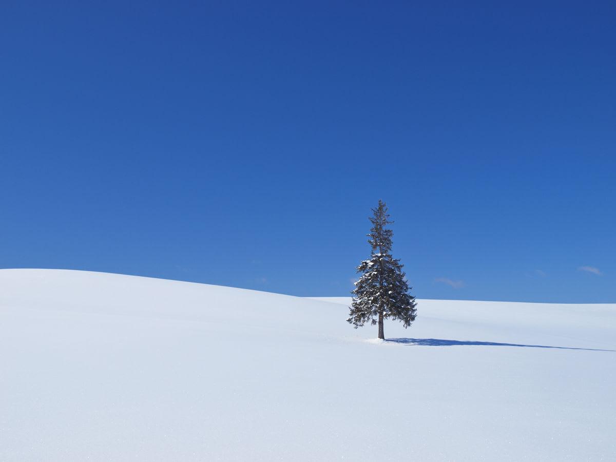 クリスマスツリーの木(圖片來源:丘の旅人)
