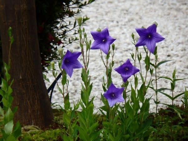 源氏之庭所盛開的紫色桔梗。