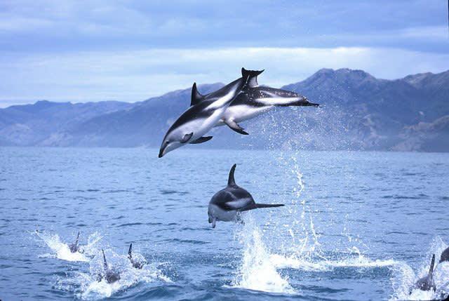 到 凱 庫 拉 欣 賞 海 豚 們 嬉 戲 !