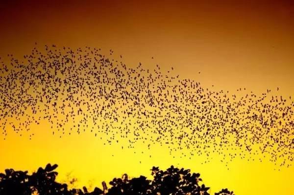 蝙 蝠 出 洞 | 圖 片: 馬 來 西 亞 旅 遊 局 。