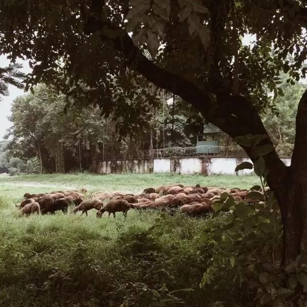 殖 民 地 外 圍 的 草 地 , 風 吹 草 地 現 羊 群 。