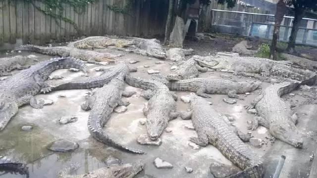 這 裡 也 養 了 約 一 百 隻 鱷 魚 , 於 是 也 稱 之 為 「 鱷 魚 地 獄 」 。