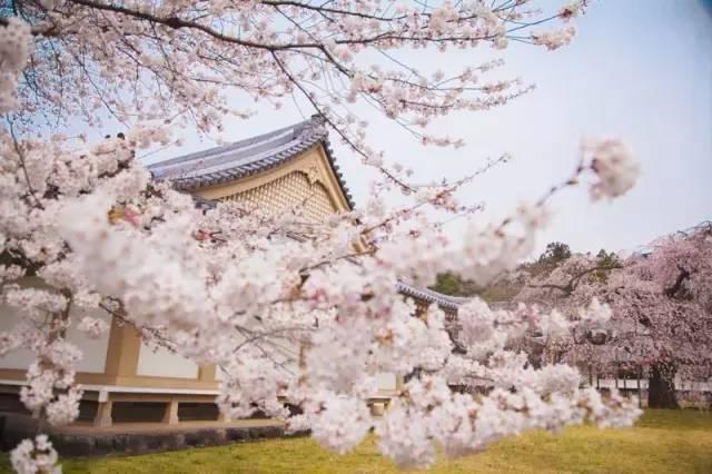 以 垂 櫻 聞 名 遐 邇 的 醍 醐 寺