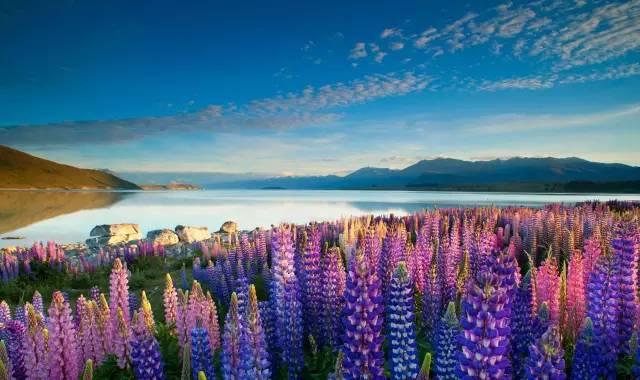 紐 西 蘭 Tekapo 小 鎮 白 天 也 有 漂 亮 的 美 景 可 觀 賞 。