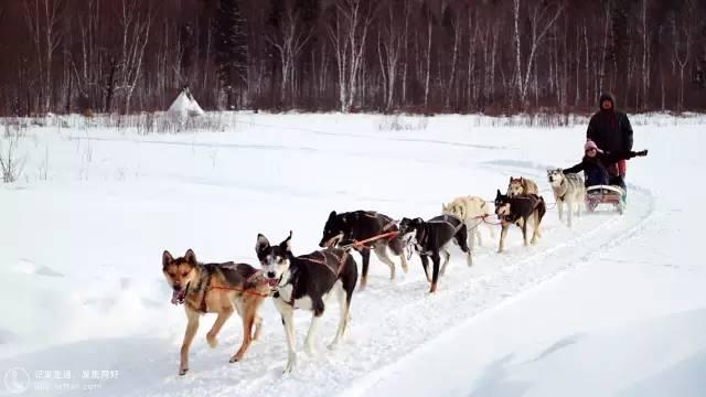 沿 途 村 落 的 雪 橇 犬 。
