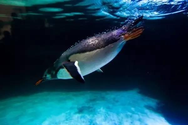 企 鵝 。