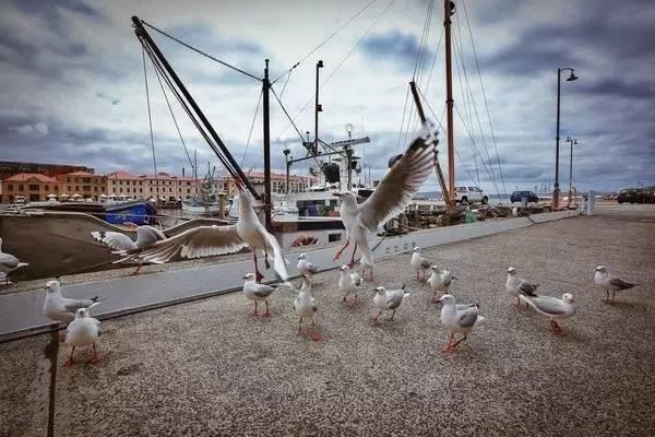 貪 吃 大 膽 到 會 在 你 嘴 邊 奪 食 的 海 鷗 。