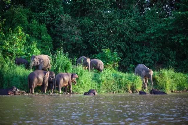 侏 儒 象 | 圖 片 來 自 網 路 。