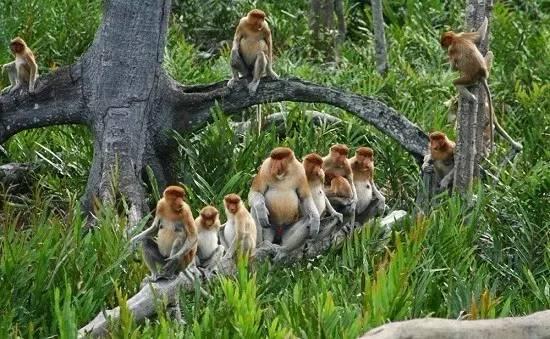 婆羅洲神秘島嶼 婆羅洲神秘島嶼 一 夫 多 妻 制 的 長 鼻 猴 群 | 圖 片 來 自 網 路 。