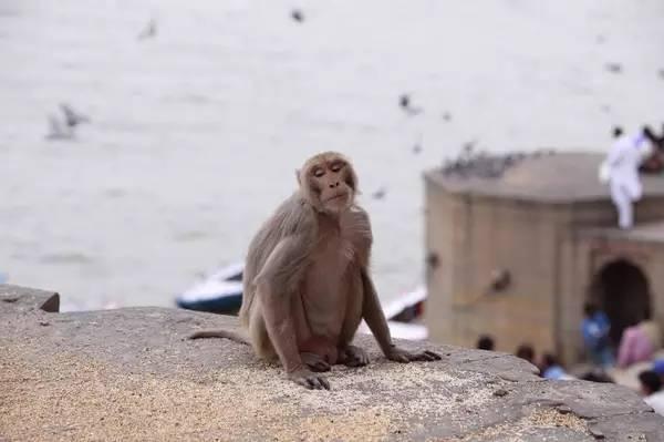 瓦 拉 納 西 隨 處 可 見 動 物, 在 這 裡 特 別 能 感 受 到 人 與 動 物 的 和 諧 相 處 。