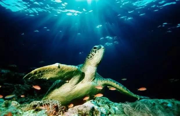 與 綠 蠵 龜 共 遊 在 湛 藍 的 海 水 中 。