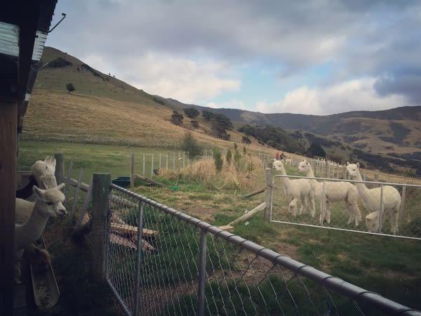 羊駝也是有七情六慾的