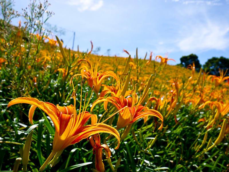 美麗的金針花優雅綻放,吸引許多遊客特地前來觀賞。(Flickr授權作者-nhchang03)