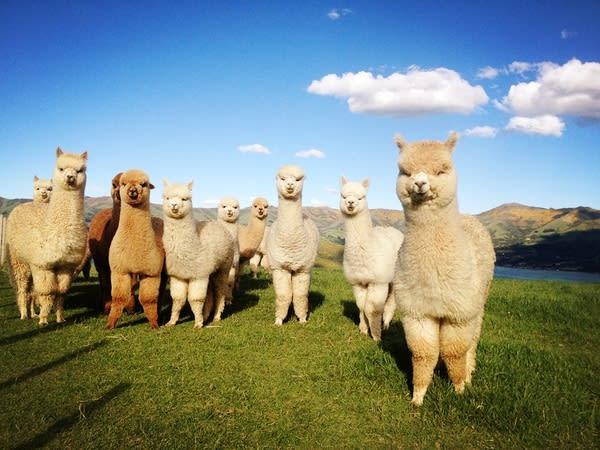 羊駝天生的笑臉迎人