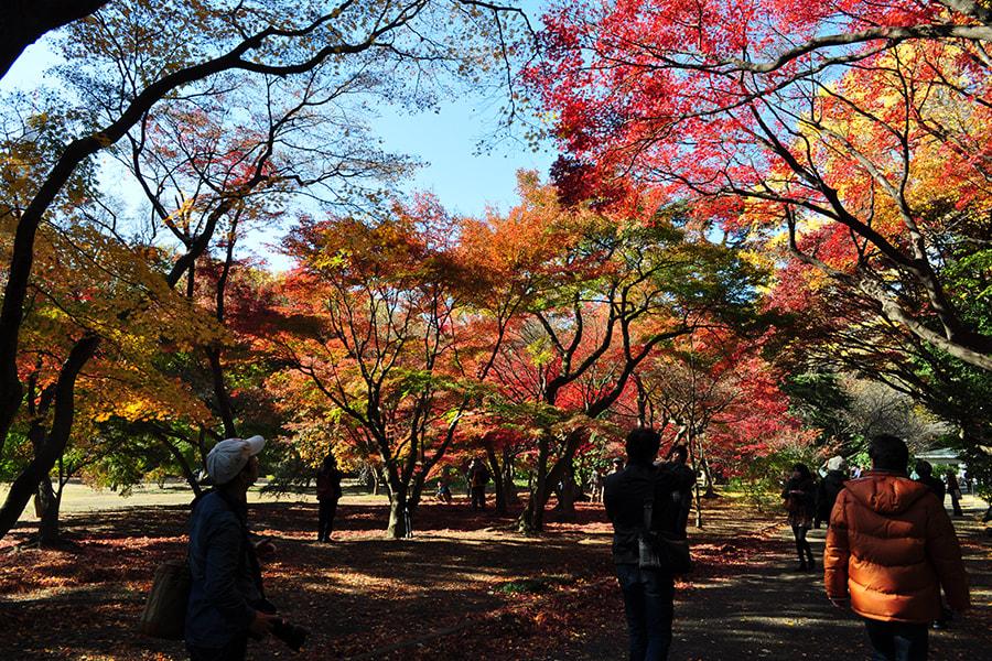 新宿御苑楓葉景象。|來源:fng.or.jp