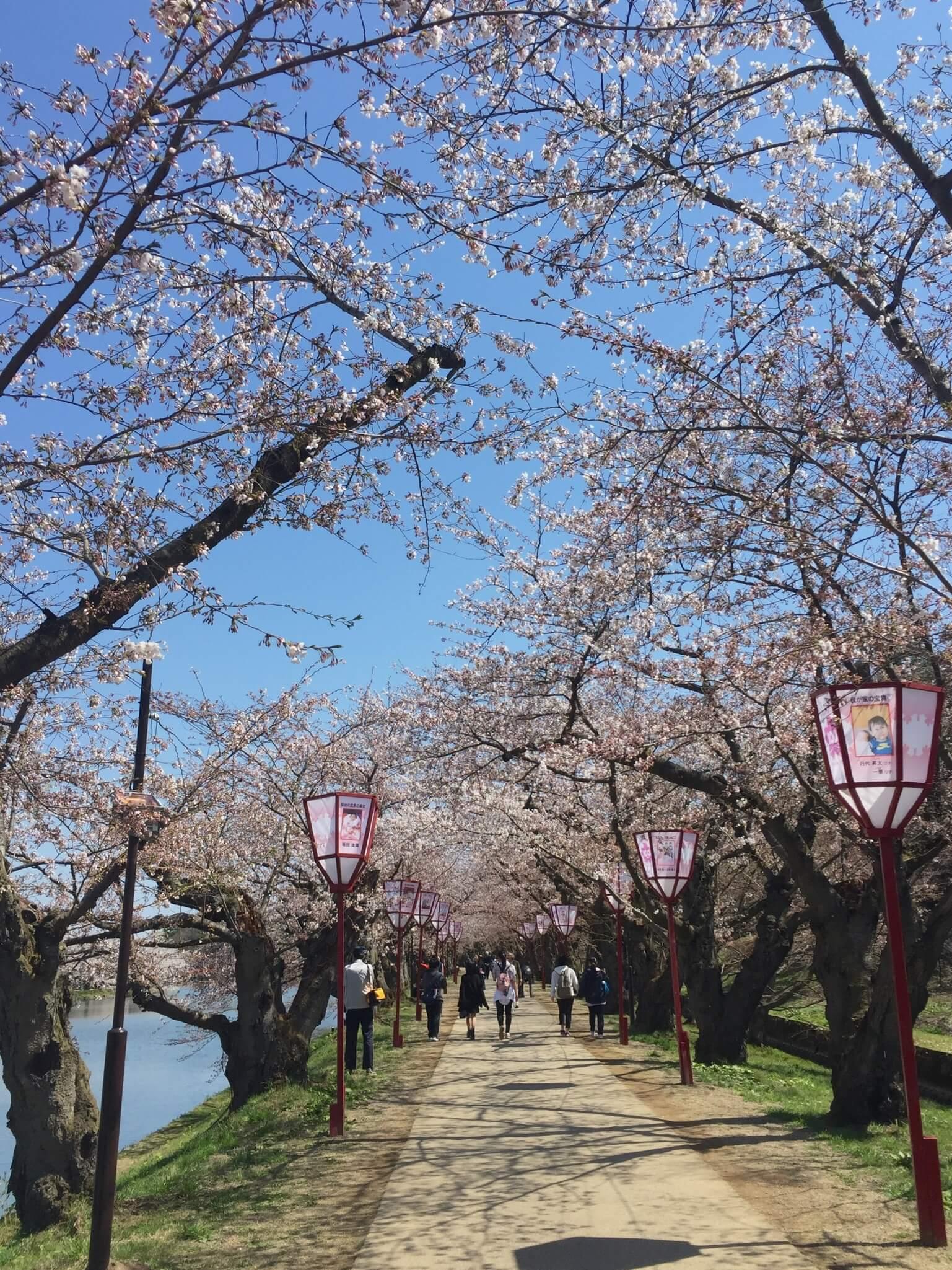 西濠沿路的櫻花大道。