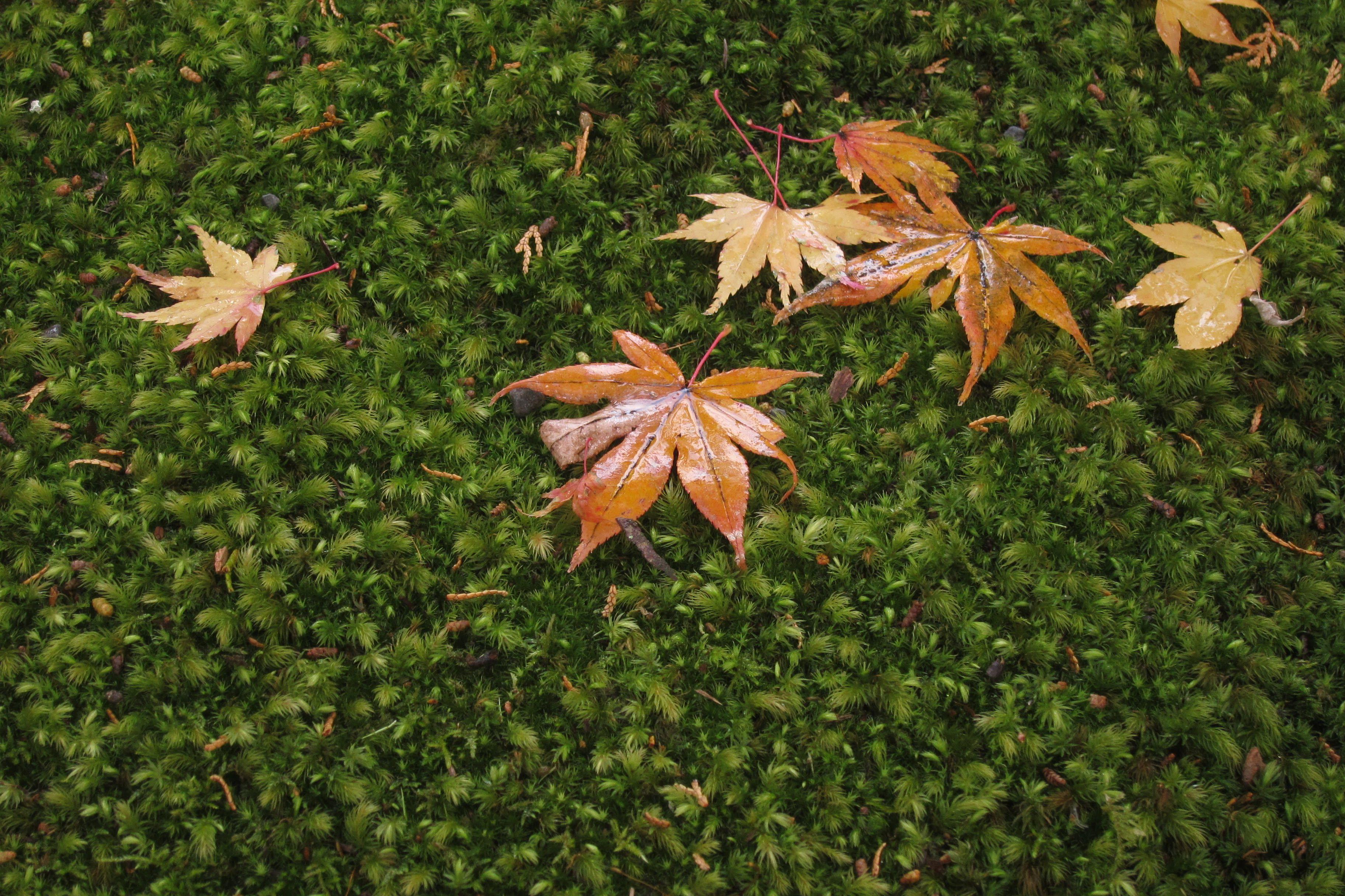 掉落的楓葉,和松苔形成的地毯構成一幅美麗的畫面