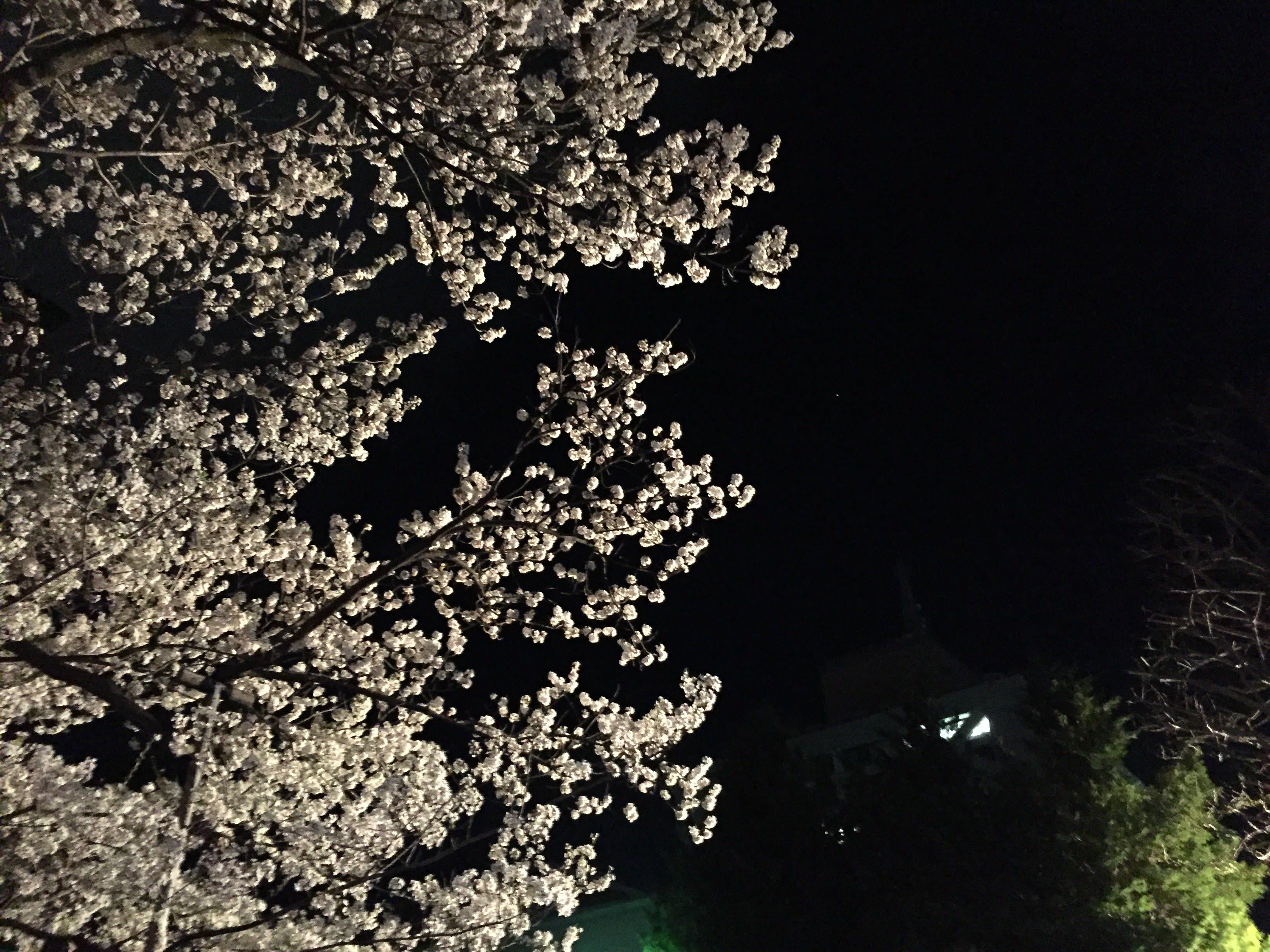 夜晚的石割櫻 。 Photographer | Zach Huang