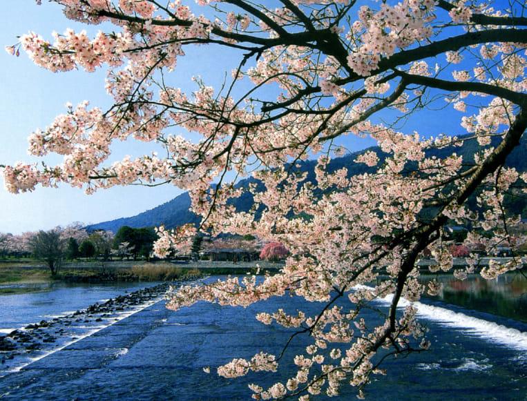 圖片來源:kyoto-sakuranomeisyo