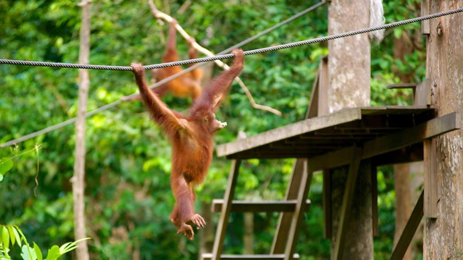 Sepilok-Orangutan-Sanctuary-43954