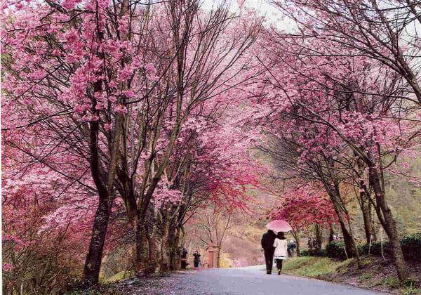 武陵農場櫻花以紅粉佳人、昭和櫻為主。