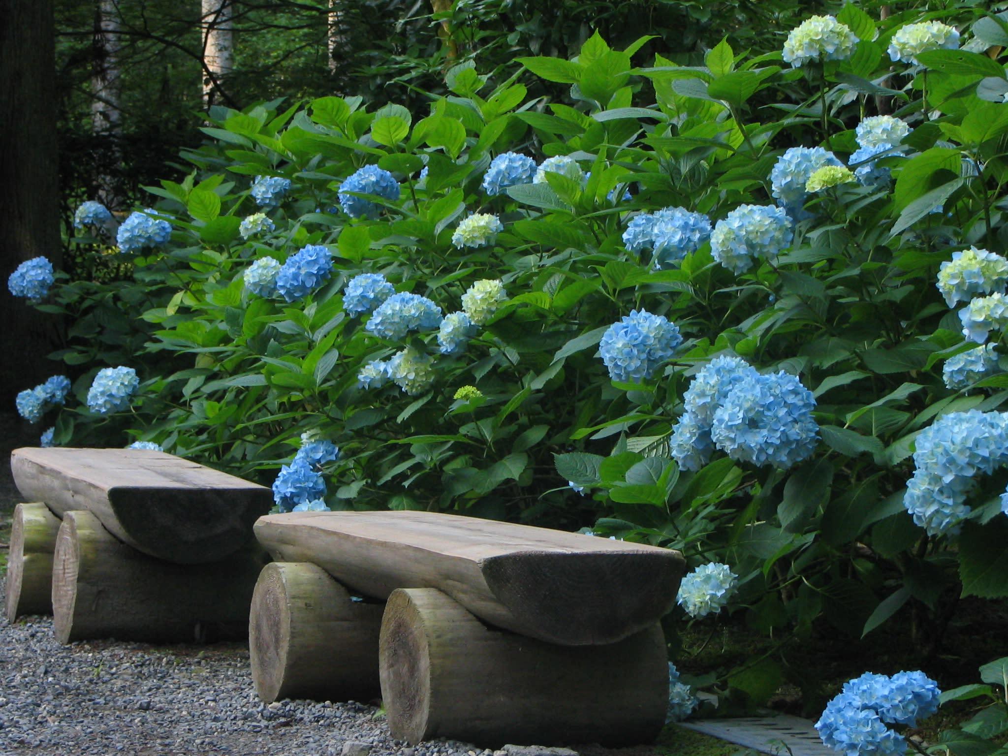 夏天的紫陽花,讓三千院的幽靜稍微變得輕盈 來源:http://phoenixyz.com/sanzenin-azisai/