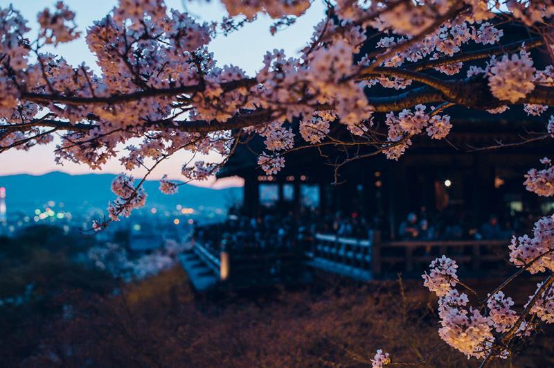 即將入夜的清水寺櫻花景色((照片來源:清水寺官網)http://www.kiyomizudera.or.jp/season.php