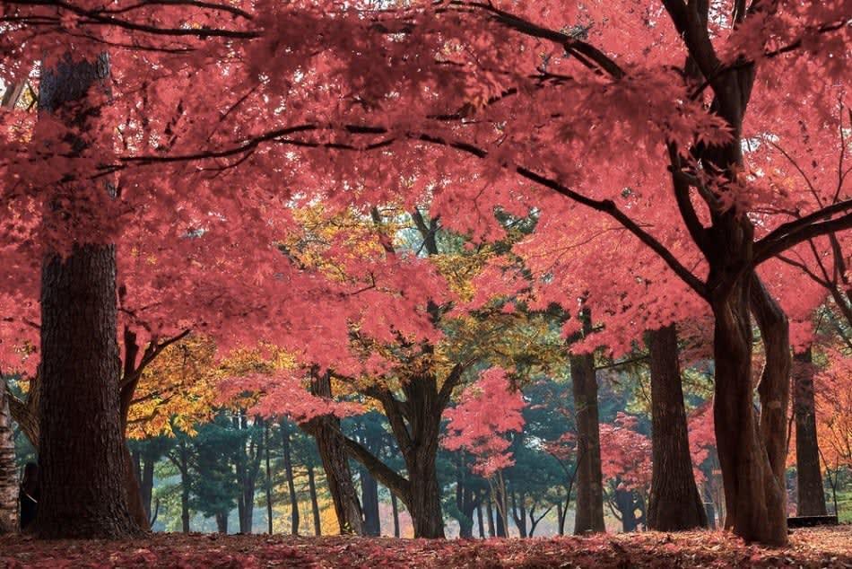 lá phong mùa thu trên đảo nami