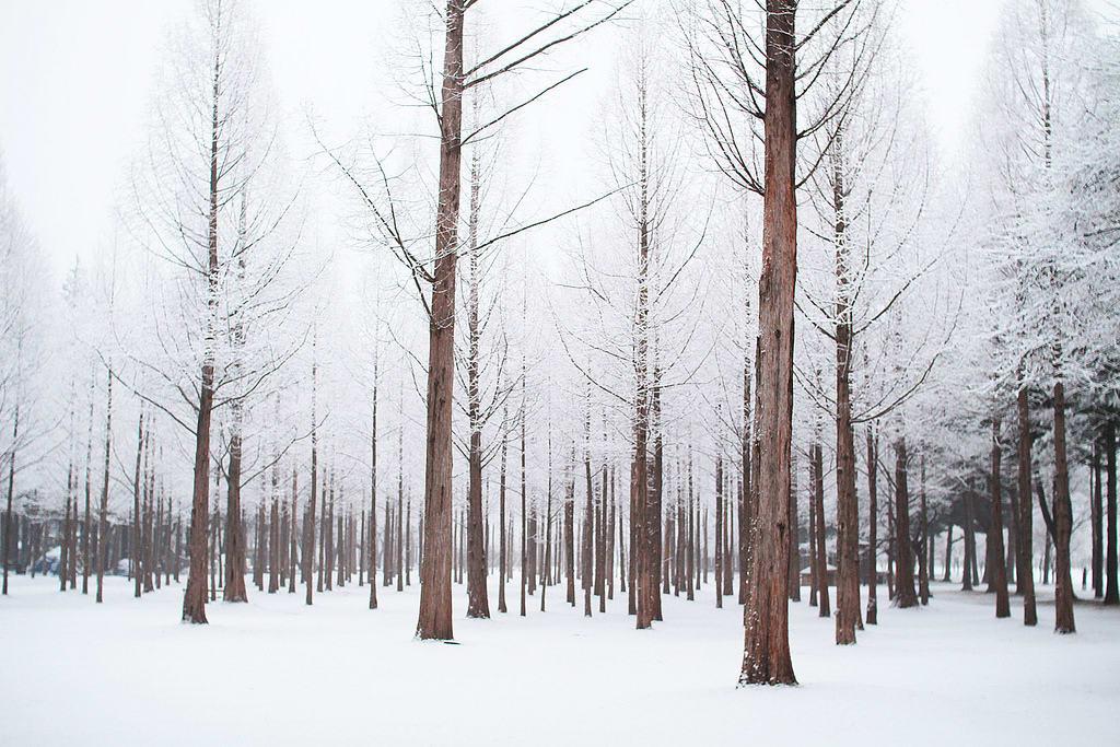 cây trụi lá vào mùa đông trên đảo nami