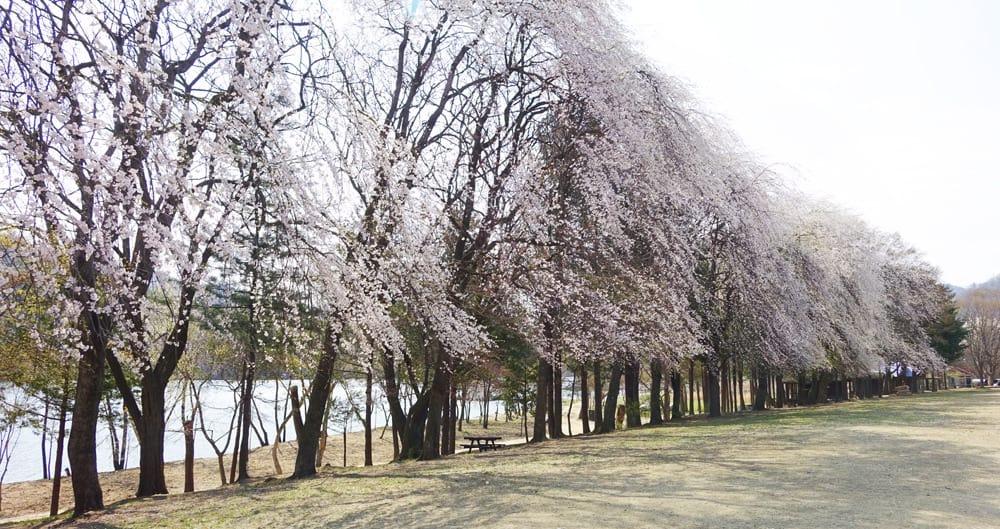 hàng cây anh đào trên đảo nami