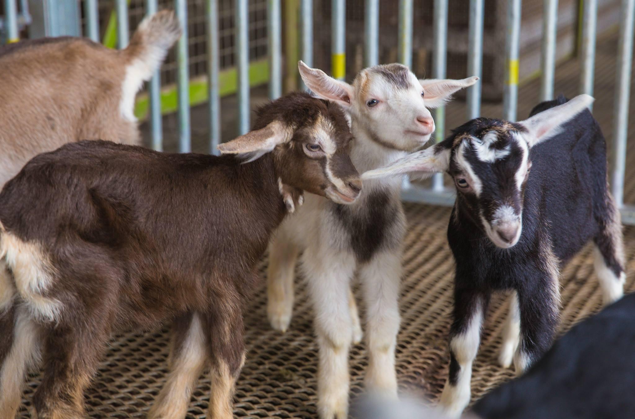 những chú bê tại trang trại dairies