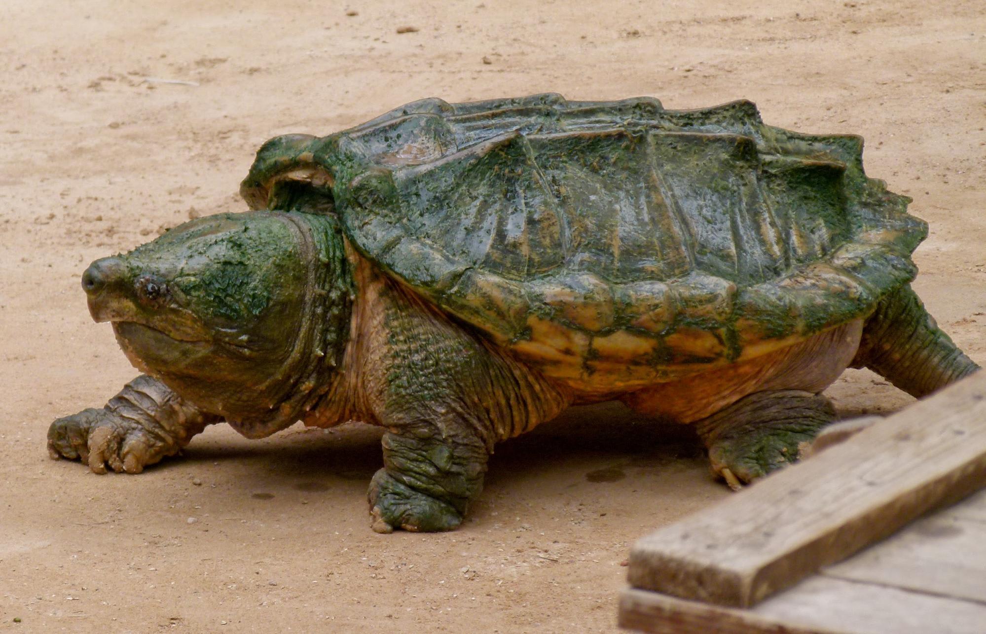rùa cá sấu tại khu vườn trung quốc