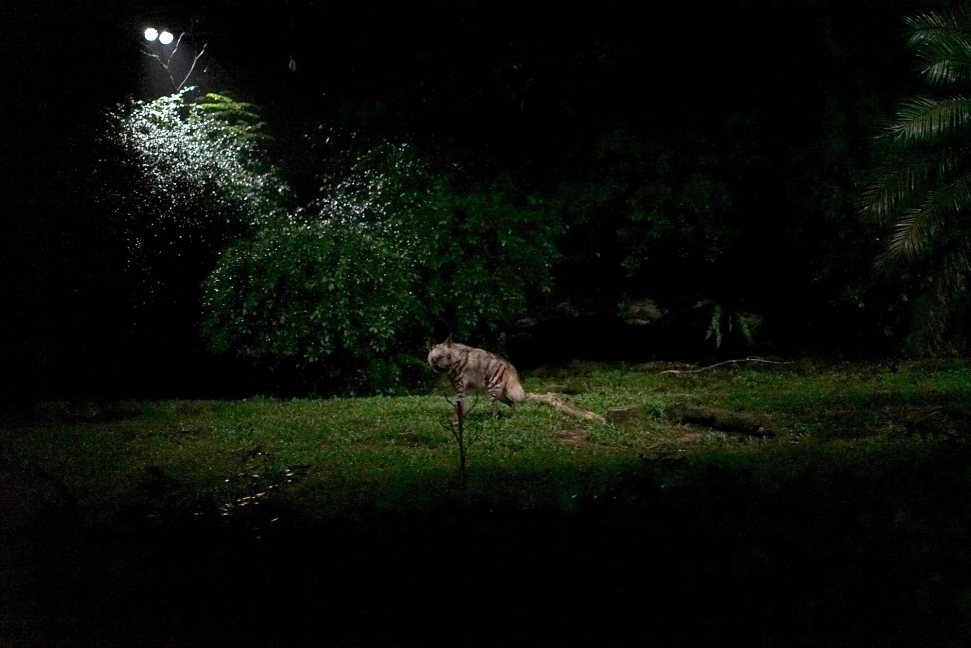 night safari singapore: linh cẩu vằn