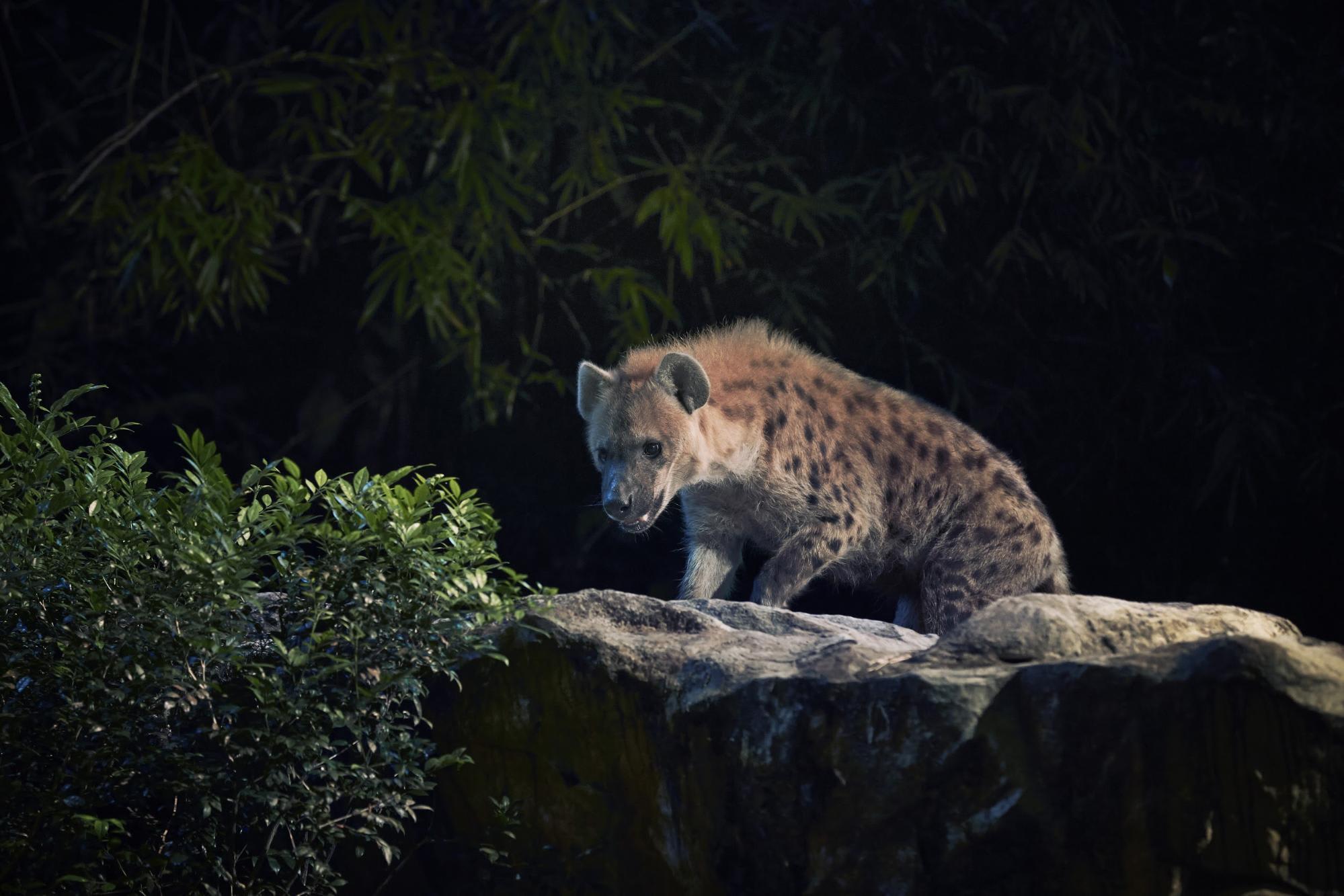 night safari singapore: linh cẩu