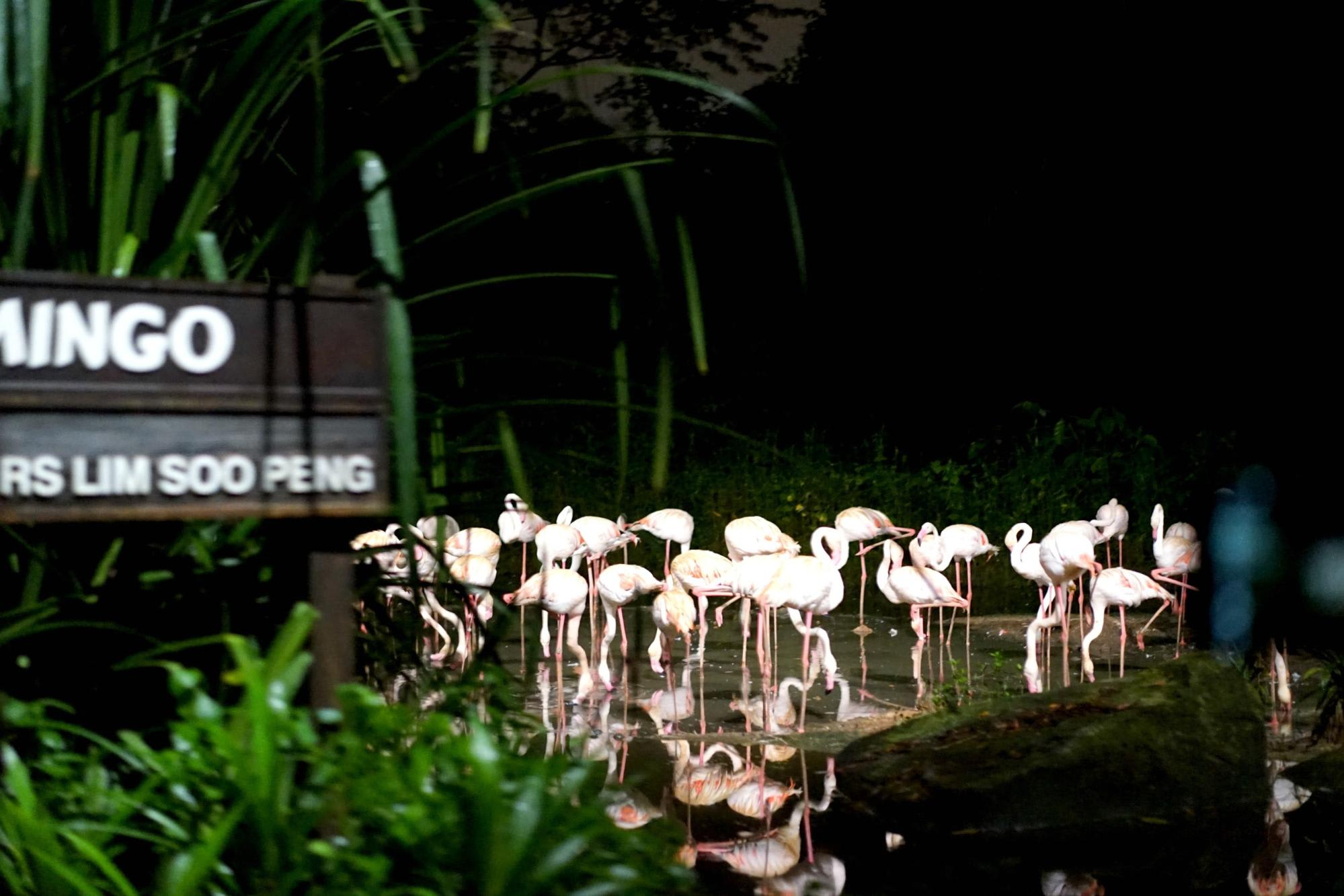night safari singapore: hồng hạc