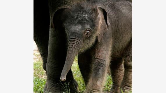night safari singapore: voi châu á sơ sinh