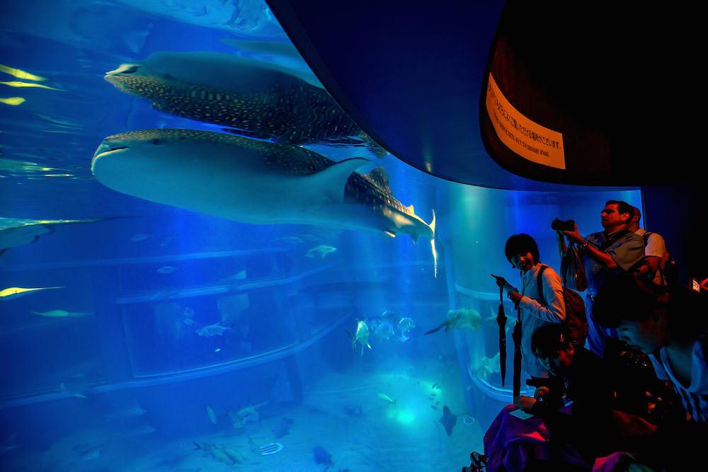 cá nhám voi tại osaka aquarium