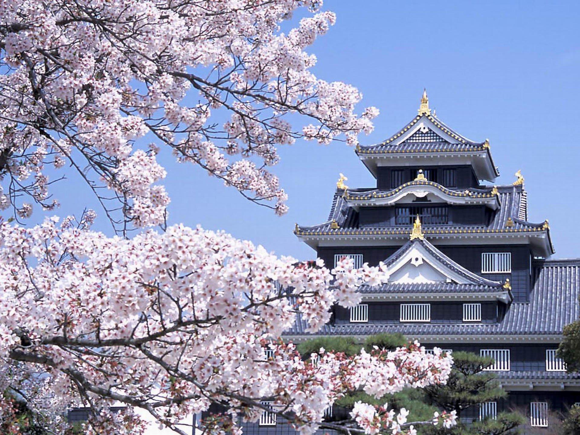 lâu đài osaka và hoa anh đào