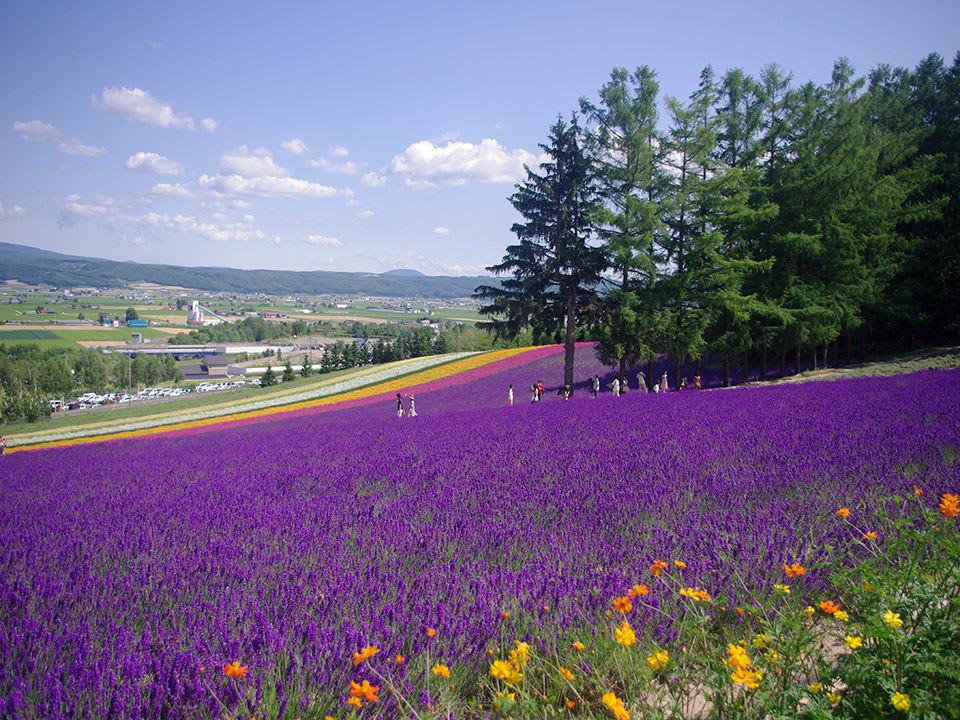 hướng dẫn sử dụng jr pass khu vực hokkaido: vườn hoa lavender