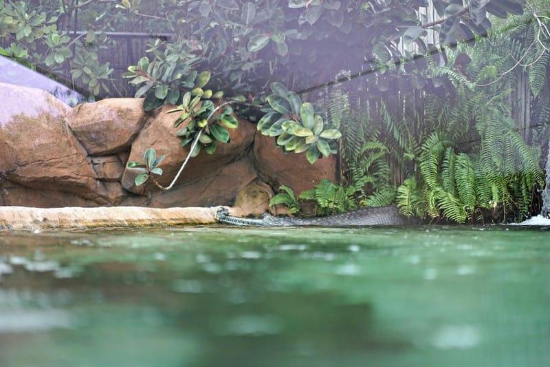khám phá river safari: xem cá sấu ấn độ
