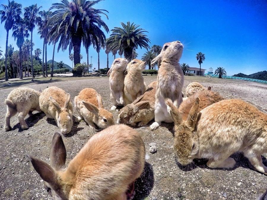 địa điểm đáng yêu ở nhật bản: thỏ ở okunoshima