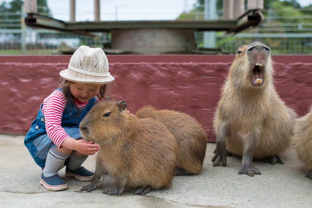 địa điểm đáng yêu ở nhật bản: nhà tắm chuột lang nước capybara