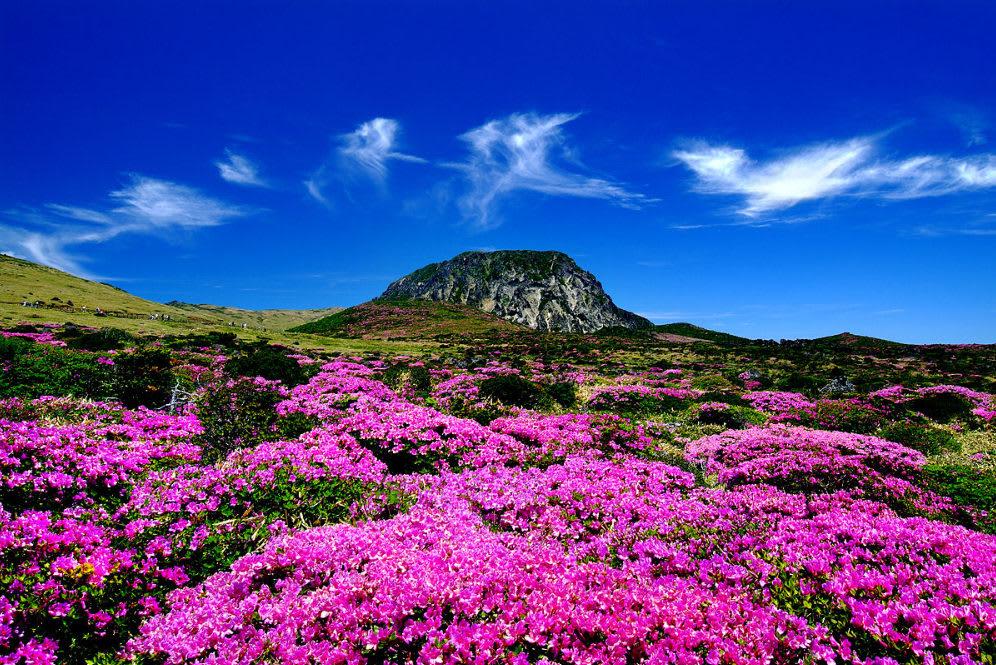 cánh đồng hoa tím ở đảo jeju