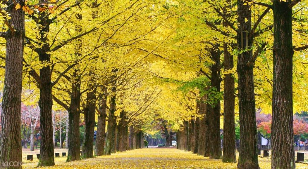 hai hàng cây lá vàng tại đảo nami