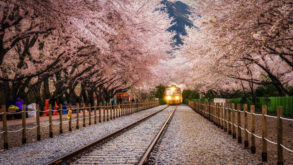 lễ hội hoa anh đào jinhae  là một trong 10 lễ hội ở hàn quốc bạn phải tham gia
