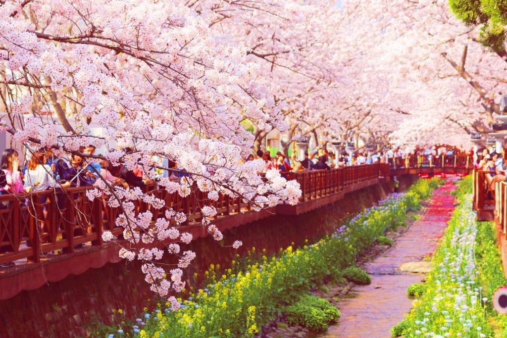lễ hội hoa anh đào ở jinhae  là một trong 10 lễ hội ở hàn quốc bạn phải tham gia